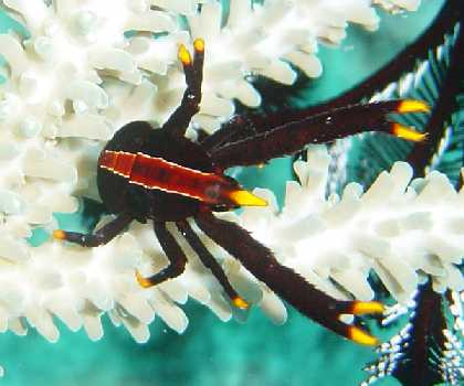 elegant squat lobster