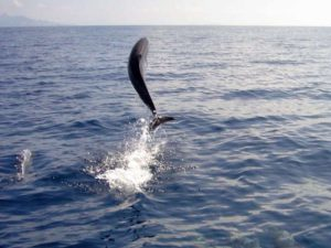 Pantropical Spotted Dolphin in Fiji