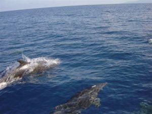 Bottlenose Dolphins In Fiji