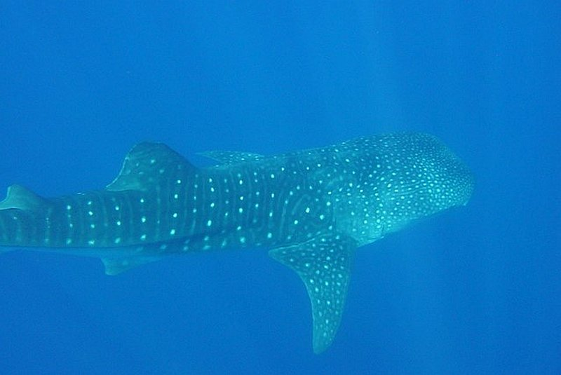 whale shark in fiji