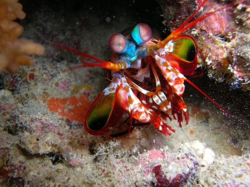 mantis shrimp in fiji