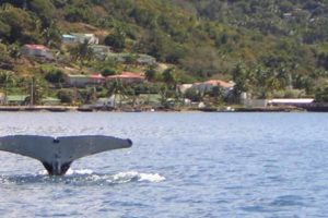 HUmpback in Levuka Harbour