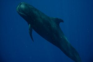 Snorkeling with Pilot Whale in Fiji