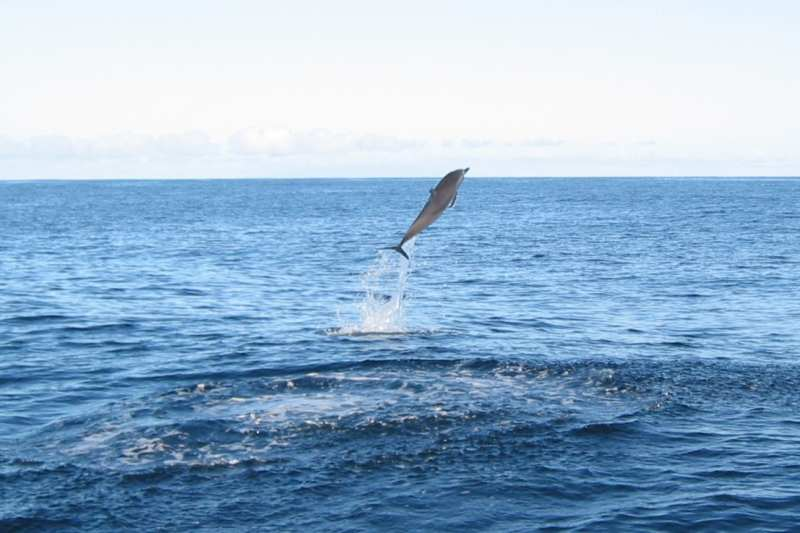 spinner dolphin in fiji