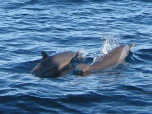 Spinner Dolphins In Fiji