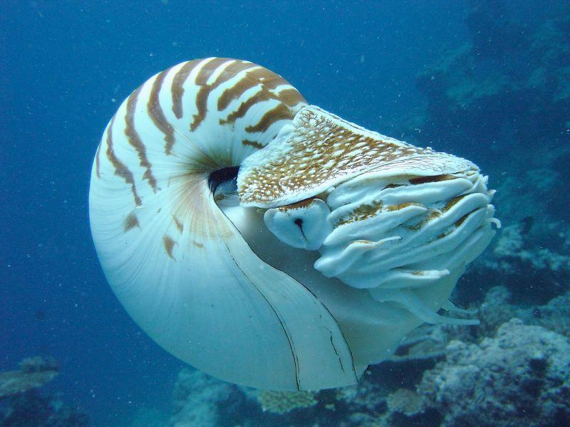 Chambered Nautilus Fiji